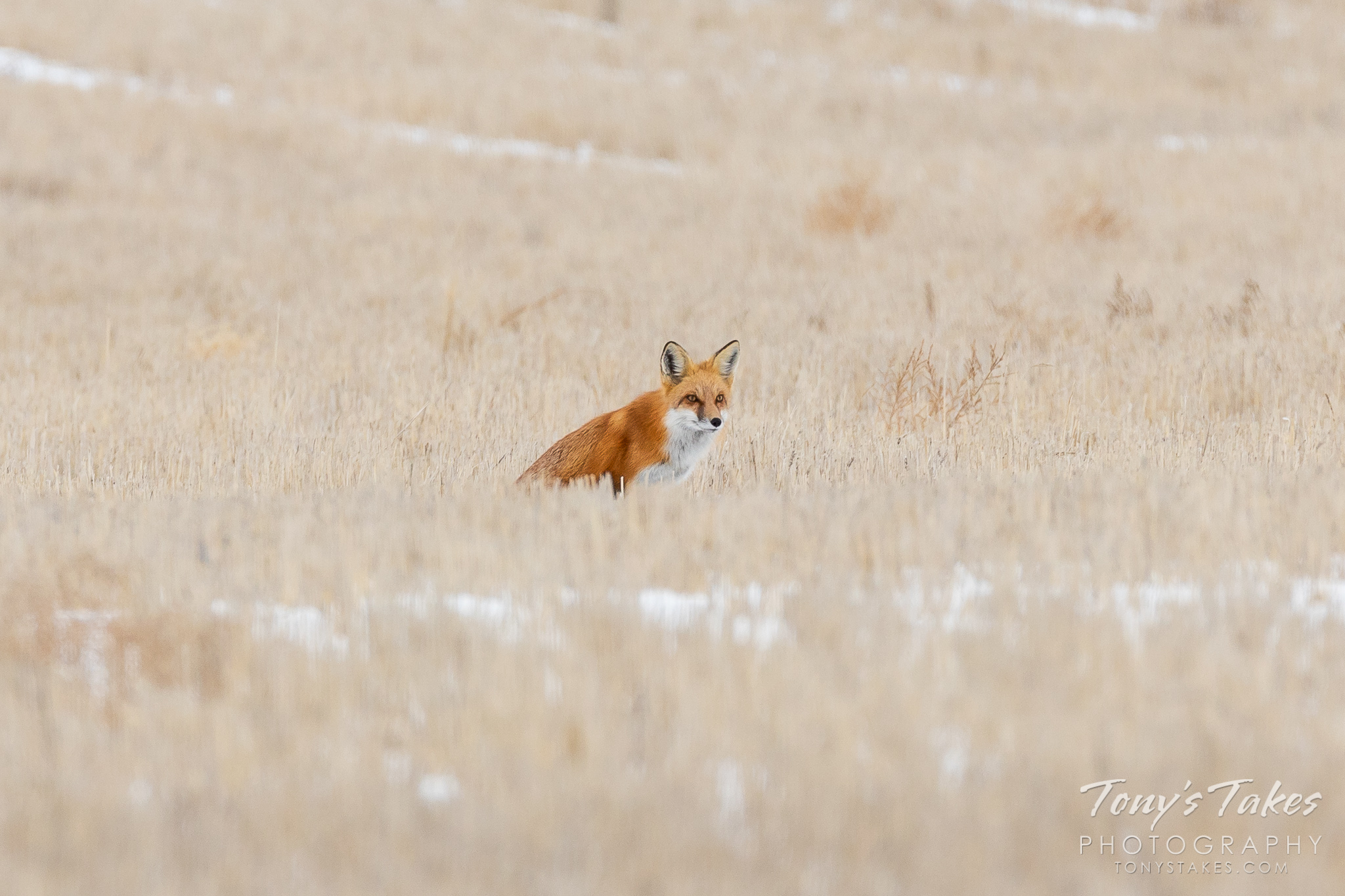 A red fox keeps close watch on the plains of Colorado. (© Tony's Takes)