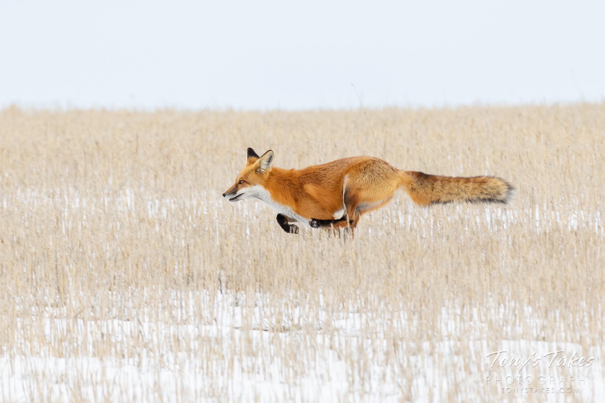A red fox runs through a field in rural Adams County, Colorado. (© Tony's Takes)