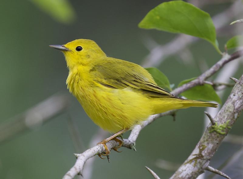 Yellow Warbler, Setophaga petechia Ascanio_Panama 199A8838