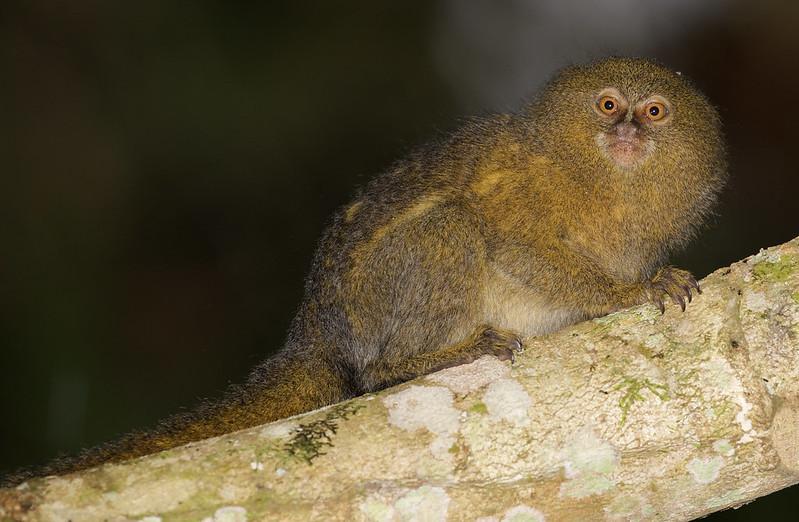 Pygmy Marmoset, Cebuella pygmaea Ascanio_Peruvian Amazon 199A7077
