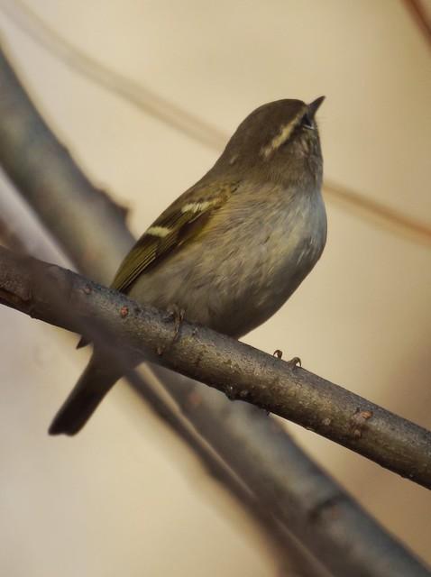Yellow-browed Warbler, Phylloscopus inornatus, Зарничка