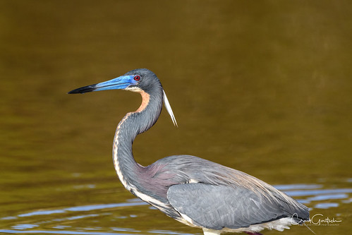 avian tricoloredheron heron nature wildlife nikon d500