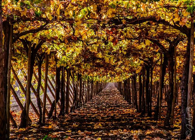 Vineyard end of season - Ruta San Martin - Los Andes - May 2015 2