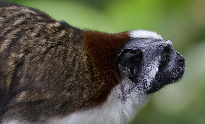 Geoffroy's Tamarin, Saguinus geoffroyi Ascanio_Panama 199A8311