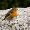 Cotehele Robin - New Years Day by PedroLanders