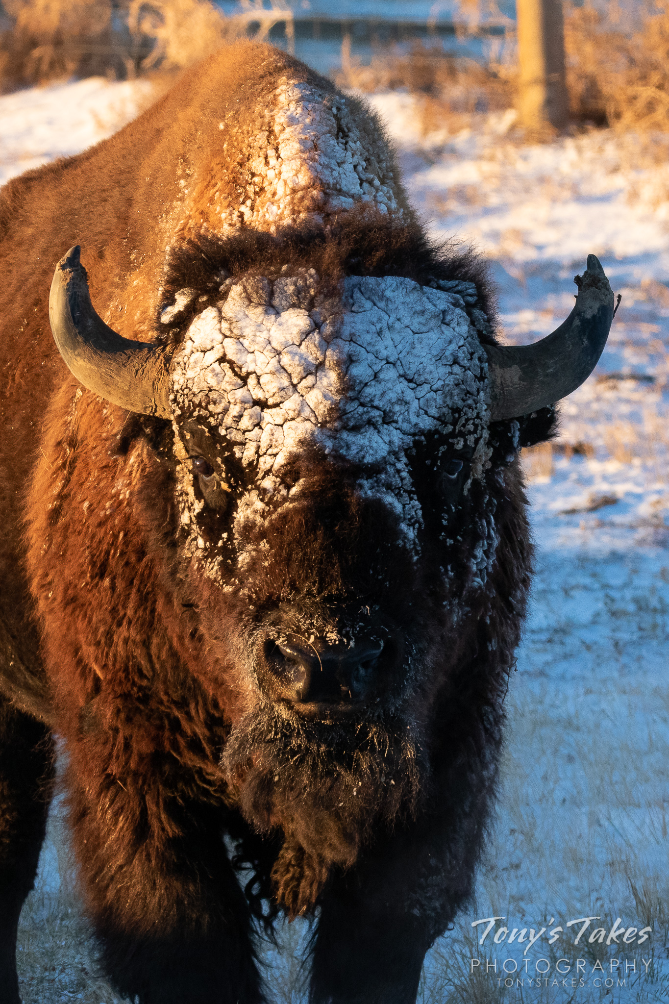 A Bison bull's face is caked in snow following a quick-moving storm in Colorado. (© Tony's Takes)