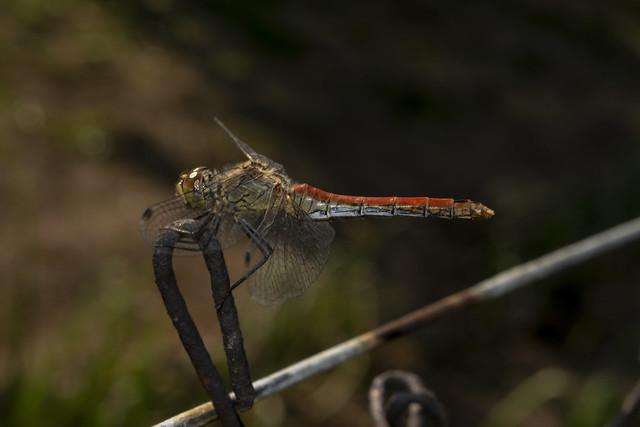 Dragon fly, Yellow-winged Darter (lat.Sympetrum flaveolum)