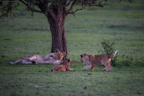 Lion Siblings at Play | by MWV Photography
