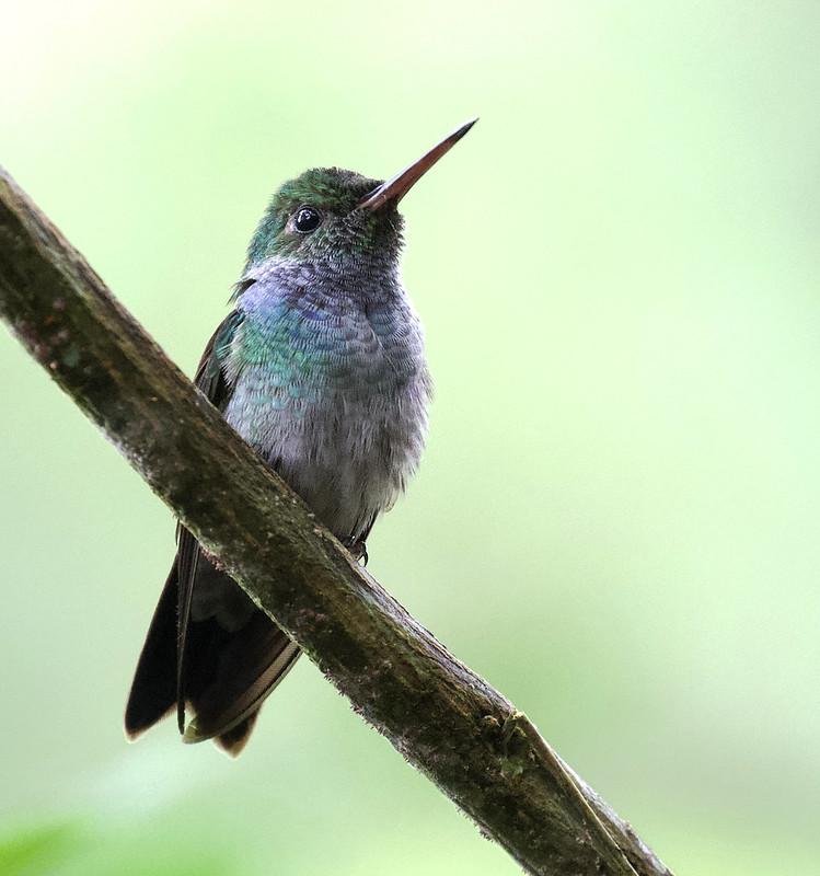 Blue-chested Hummingbird, Amazilia amabilis Ascanio_Panama 199A8640