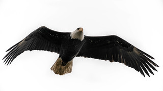 Bald Eagle | by Ken Cheng Photography