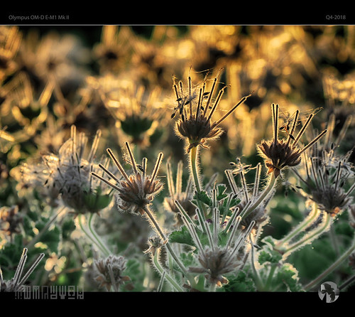 backlit seeds plant flower macro sunset tomraven aravenimage q42018 gold green olympus em1mk2