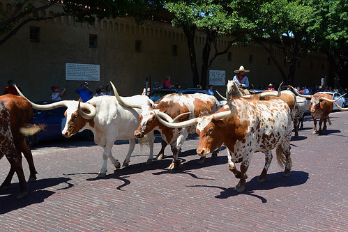 Fort Worth - Longhorn Cattle Drive   by Drriss & Marrionn