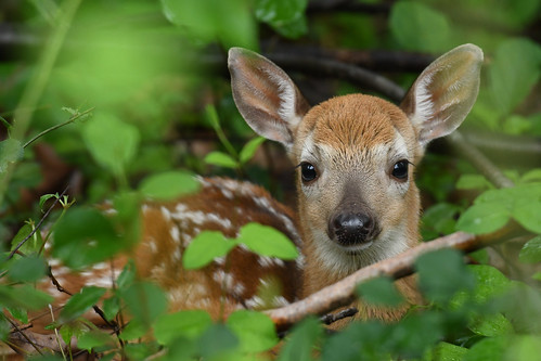 Photo of young fawn in the woods