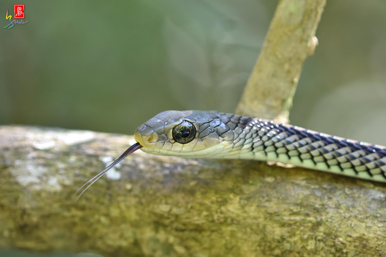 Snake_6321