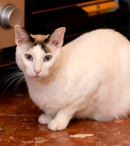 Blau, gato cruce Snowshoe nacido en enero´17 esterilizado, apto para gatos machos, en adopción. Valencia. 46157690162_69a27f773c