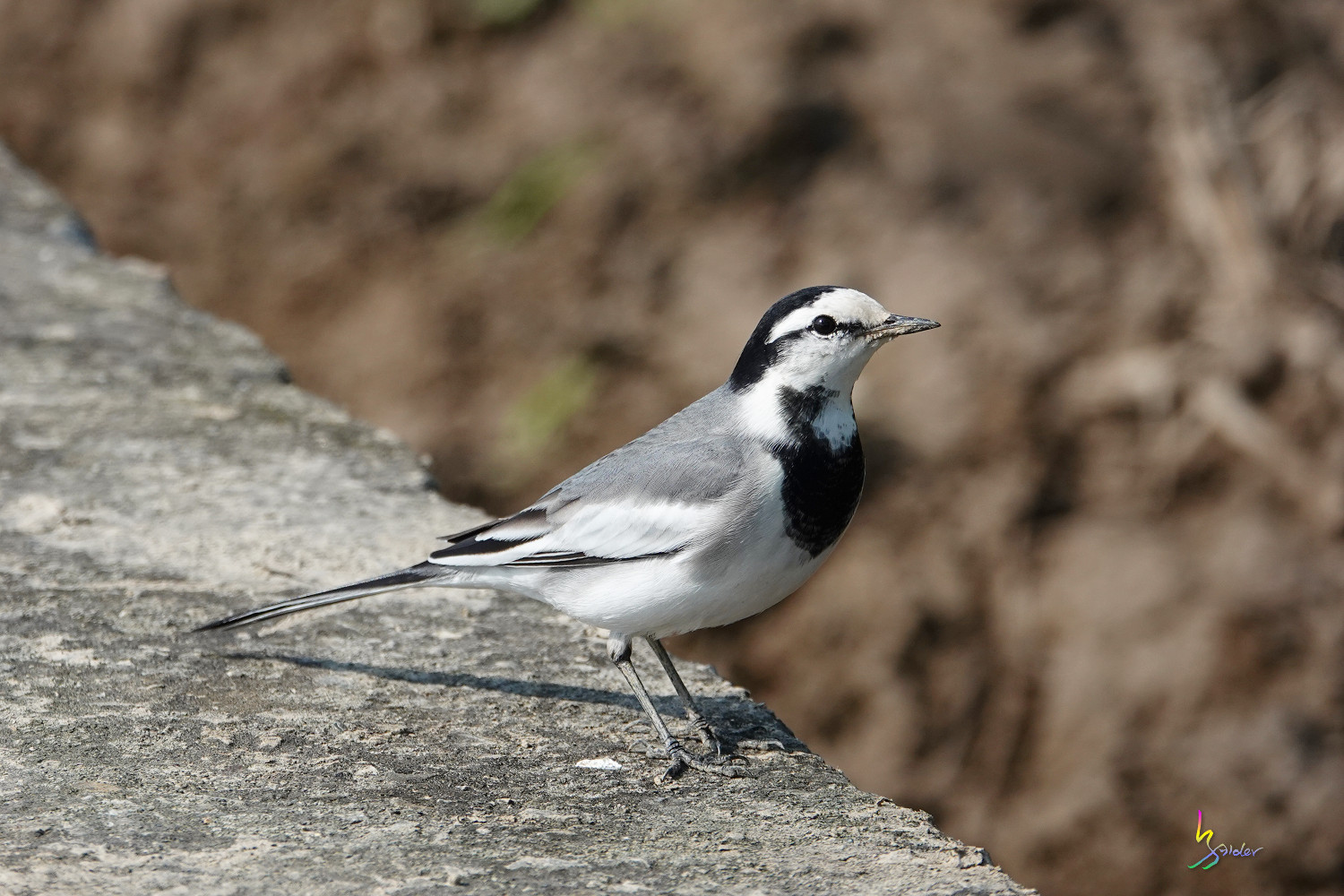 White_Wagtail_SONY_00118