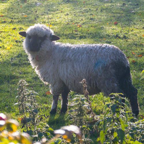 Lamb, Northycote Farm