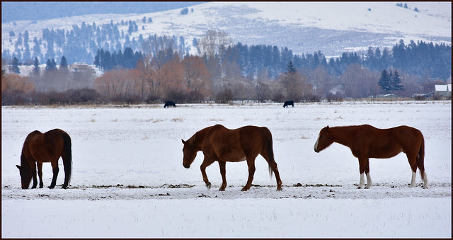 Horses and Cows