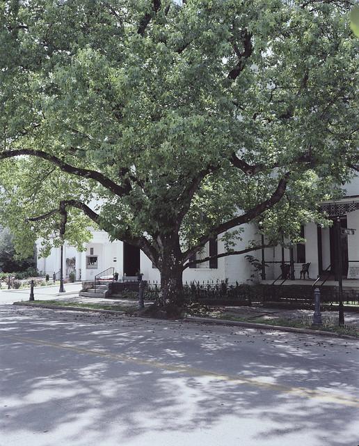 Tree, Maysville, KY