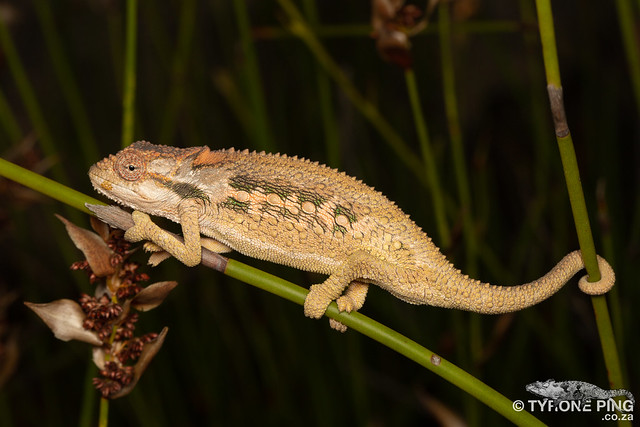 Bradypodion atromontanum Swartberg Dwarf Chameleon -