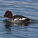 Common Goldeneye - Bucephala clangula