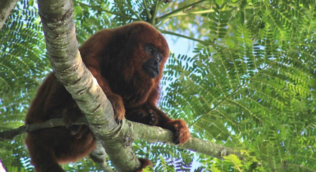 Brazilian Monkey (South of Brazil 2019)