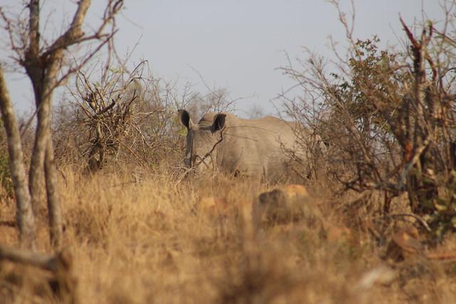 Rhino up Ahead