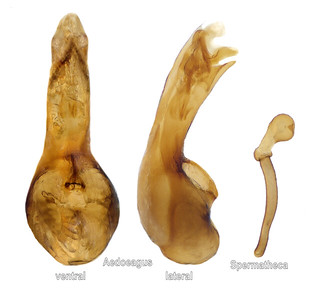 Mniusa incrassata (Mulsant & Rey, 1852) Genital | by urjsa