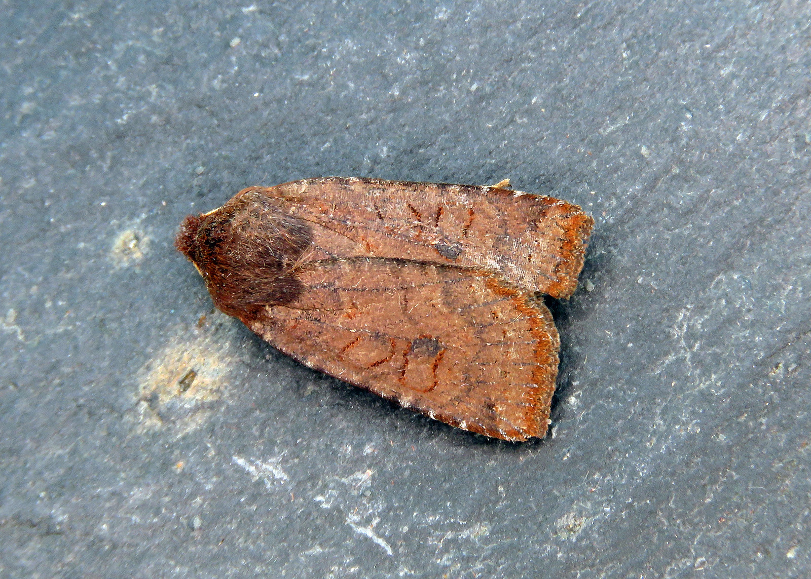 73.195 Dark Chestnut - Conistra ligula