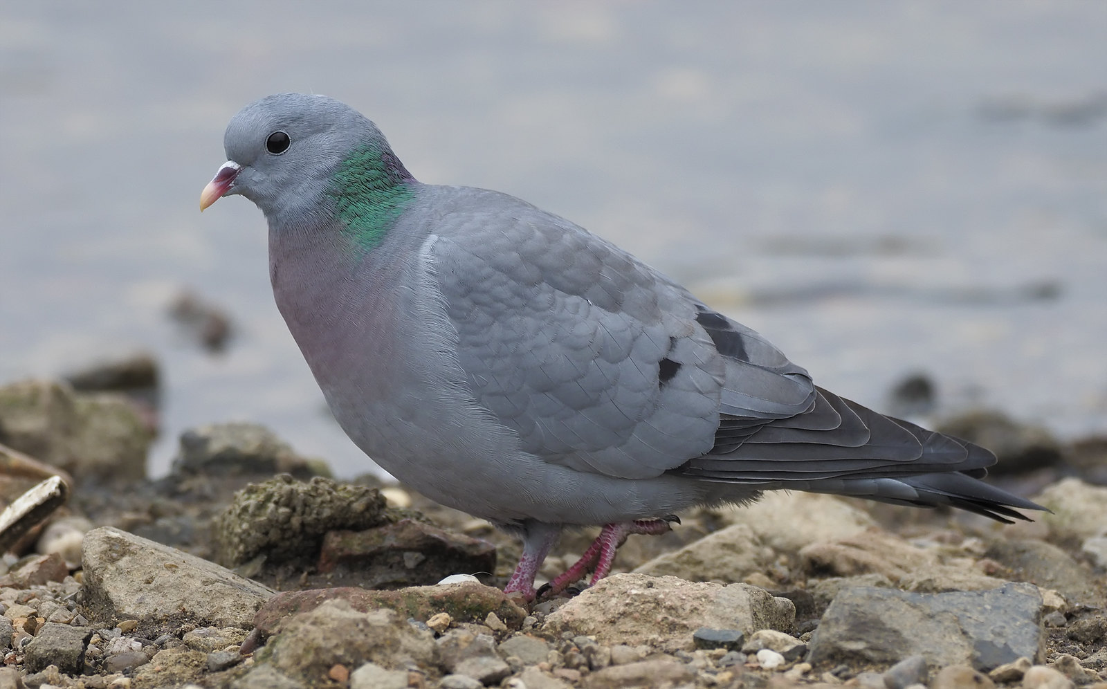 Stock Dove - nice, but no light = dead-eye :-(