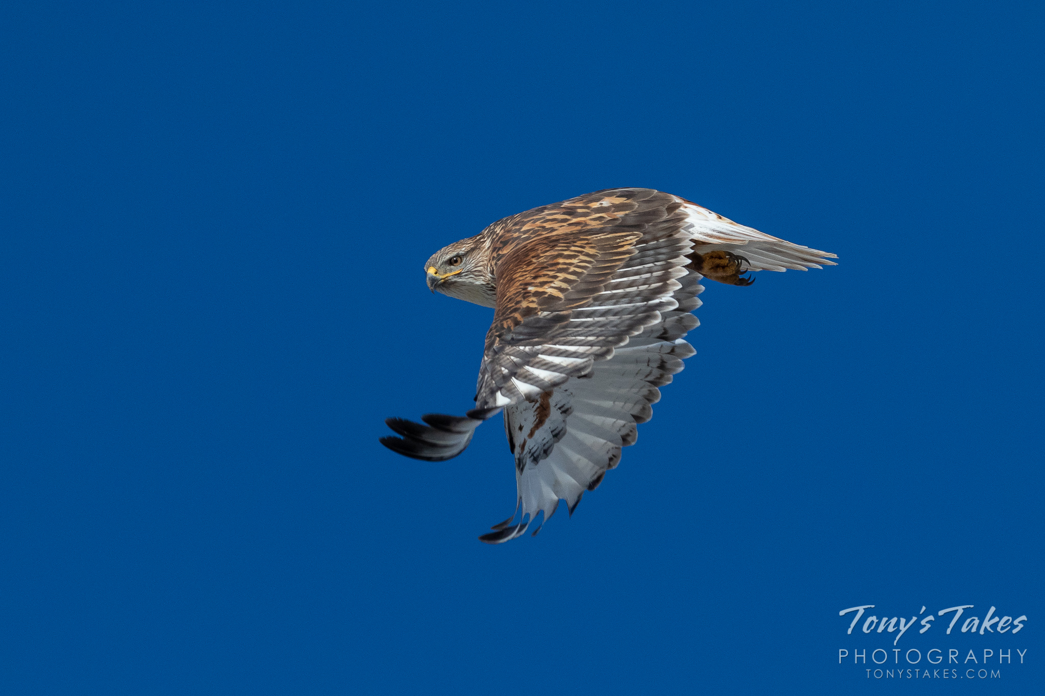 A Ferruginous Hawk performs a flyby against deep, blue skies in Colorado. (© Tony's Takes)