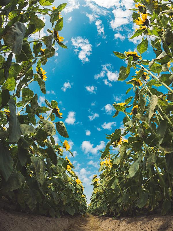 向日葵|sunflower