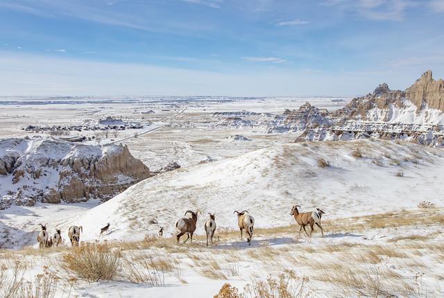 Bighorns wandering the Badlands