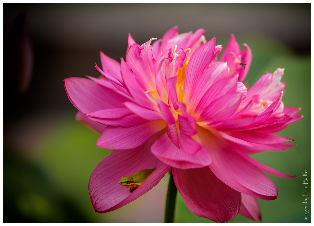 Lotus And Frog Lotus Flower And Dwarf Green Tree Frog At M Flickr