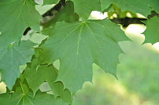 Acer platanoides (Norway maple) 5