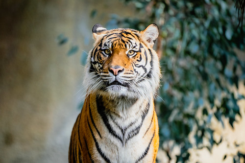 socal lazoo emount tiger sonyα7riii losangeles sumatrantiger sonysel100400gmfe100400mmf4556gmoss animals a7r a7riii alpha ilce7rm3 sel100400gm sony sonyalpha southerncalifornia e pantheratigrissumatrae supertelephoto telephoto zoo zoom california unitedstates us