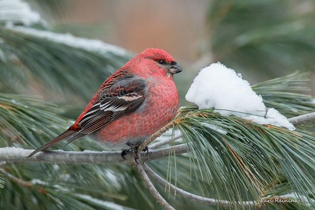 Pine Grosbeak