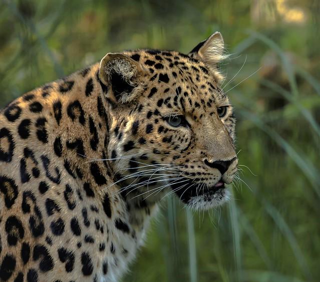 Leopard.....