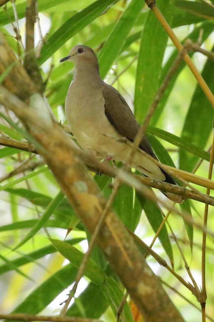 White-tipped Dove, Pura Vida Garden, Puenta Arenas, CR_9166(1)