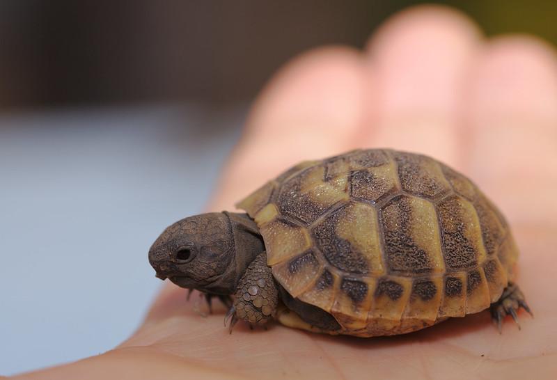 Griechisches Landschildkrötenbaby