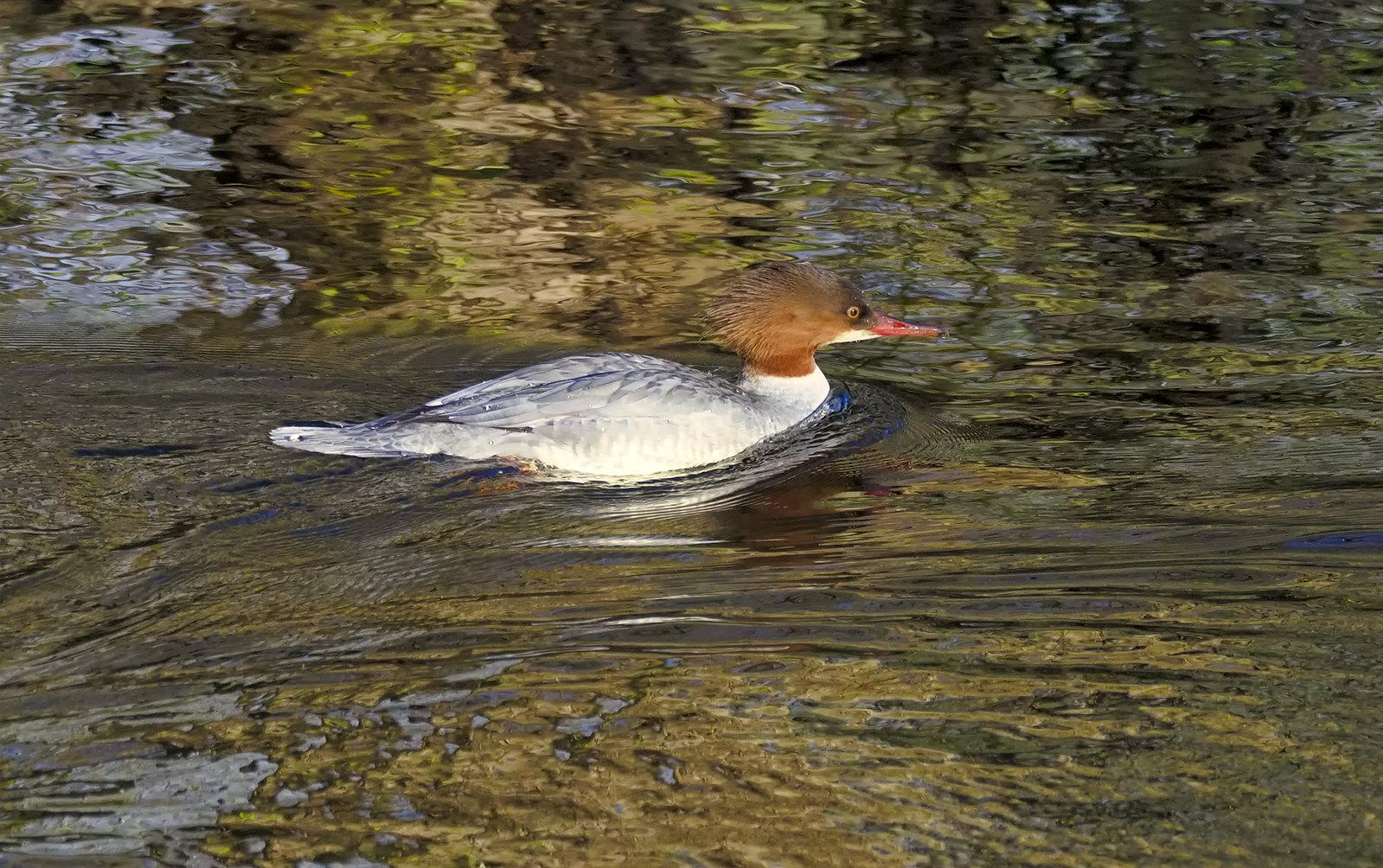Female Goosander in Autumn river