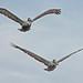 Flickr photo 'Brown Pelican (Pelecanus occidentalis)' by: Mary Keim.