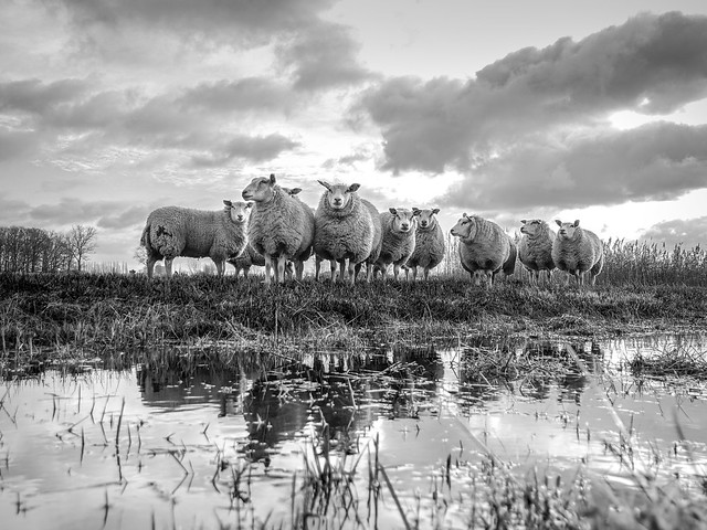 Sheep crop 4/3
