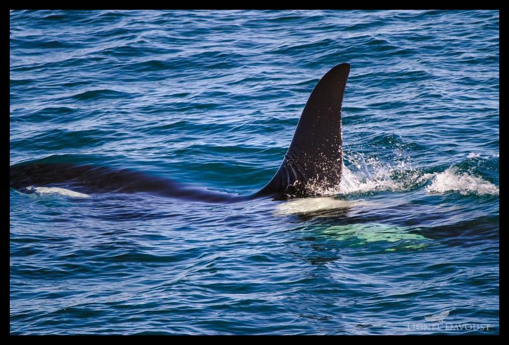 Glassy orca