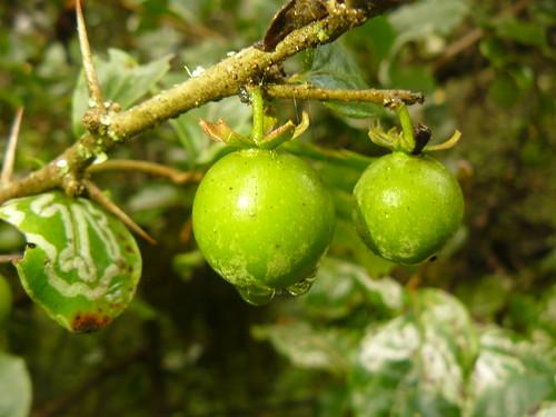 mugovigovi mroro salicaceae flacourtiaceae bukarambi mutahachu olleleroi muraga lichet tungururiet loloroi echoke mount kenya