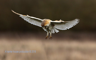 PB19-4081  owls 2019 | by mossman photographic uk.