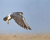 Peregrine Falcon by Ramakrishnan R - my experiments with light
