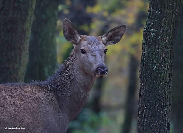 Portrait of the Red Deer