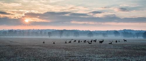 berkshire castle dawn deer frosty great longwalk morning park sunrise windsor winter