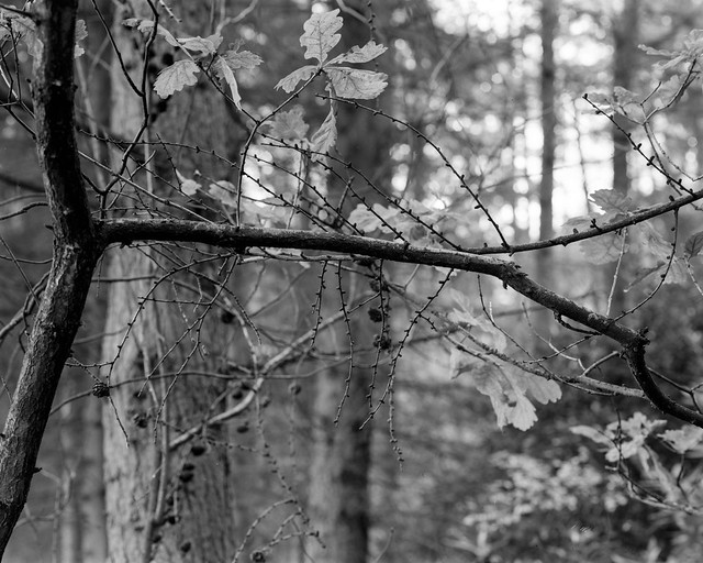 Oak Branch (Dukes Hag Wood)